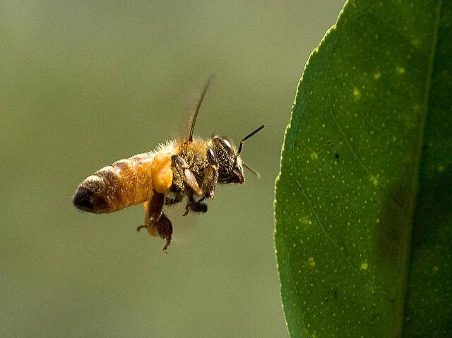 File:Bee pd5.jpg