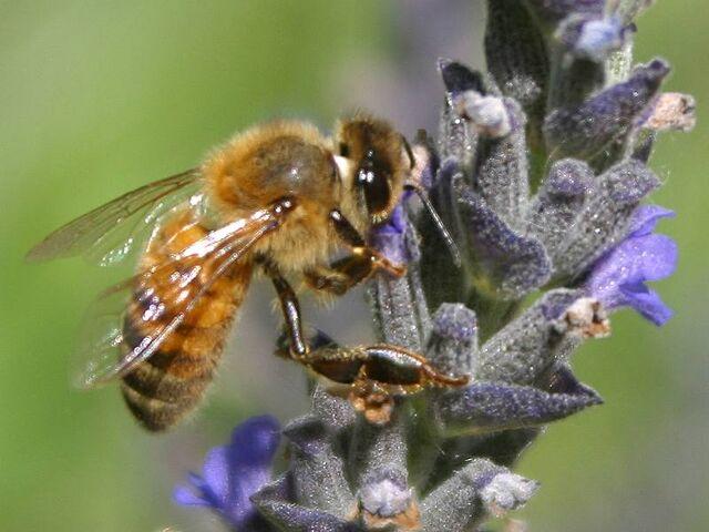 File:Bee pd7.jpg