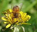 Flower:Dandelion