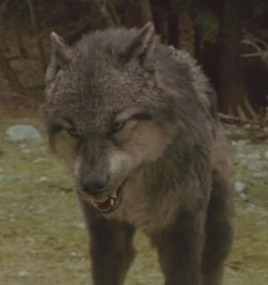 Paul-wolf