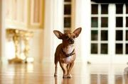 Papi from Beverly Hills Chihuahua