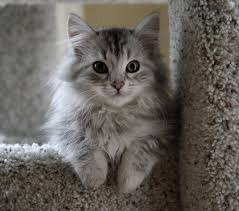File:My favourite cat- Siberian.jpg
