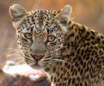 Leopard082710sa37