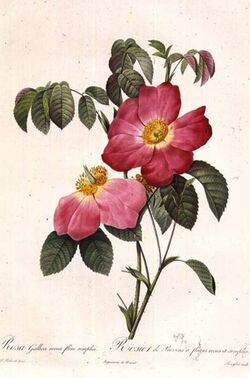 Rosa Gallica Pierre-Joseph Redouté