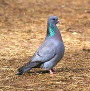 Stock dove-0