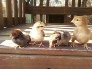 Easter Chicks (2011)