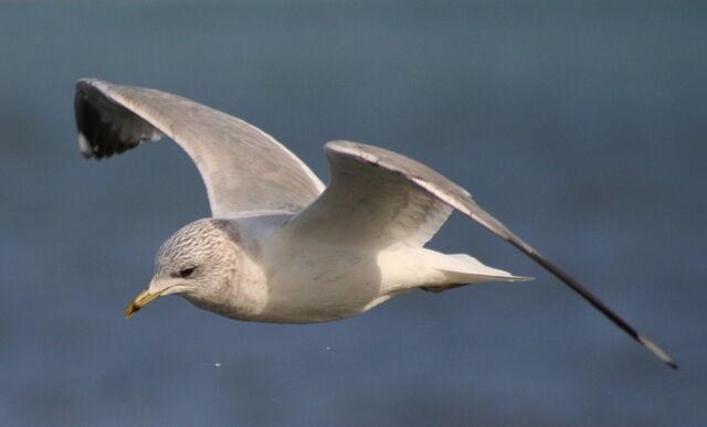 File:Commongull in flight-5056.jpg