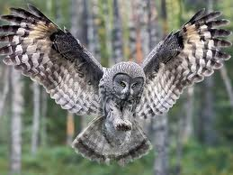 File:Barred Owl.jpg