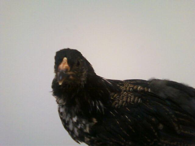 File:Chicken Fluffy.jpg