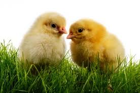 File:Two Chicks.jpg