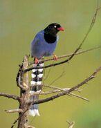 Formosan Blue Magpie