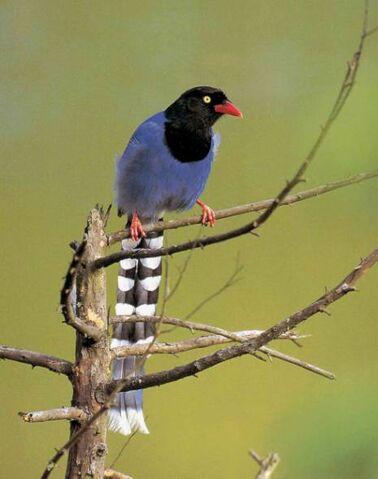 File:Formosan Blue Magpie.jpg