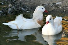White-mandarin-ducks 01
