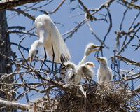 Great egret chicks with parent in nest-198