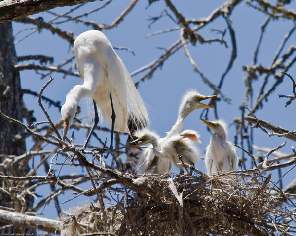 File:Great egret chicks with parent in nest-198.jpg