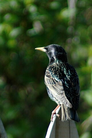 File:European+Starling-2399.jpg