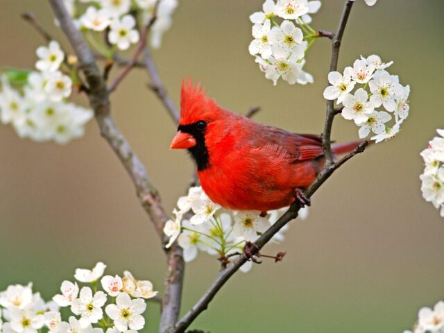 File:Cardinal.Jpg