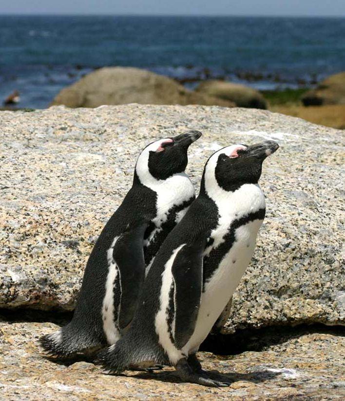 essay pertaining to africa penguins birds