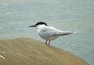 Tern, roseate