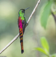 Red-tailed-Comet-male-yala 6320
