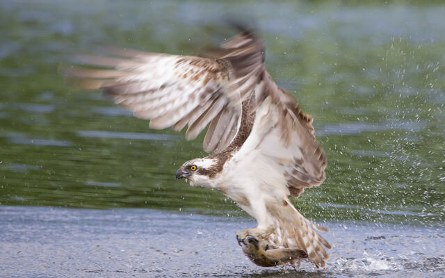 File:4 aidanfinn-osprey.jpg