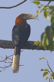 Birds hornbills rufous necked coraciiformes bucerotidae animals