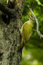 Grey-headed Woodpecker - Italy S4E5692