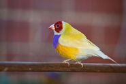 Adult male double factor yellow back Gouldian finch
