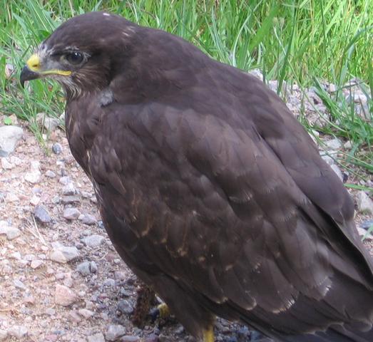 File:Common buzzard.PNG
