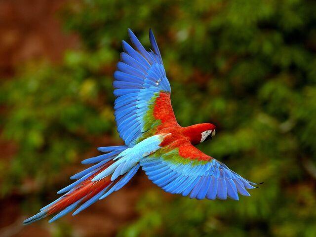 File:Flying Macaw.jpg