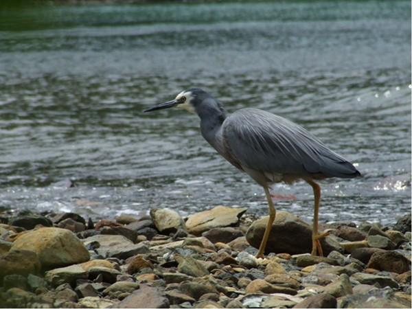 File:White-faced Heron 2.JPG