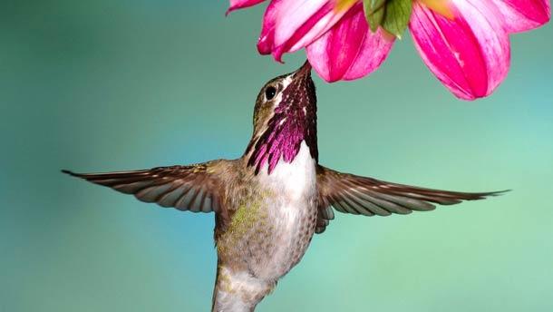 File:Hummingbird at Flower.jpg