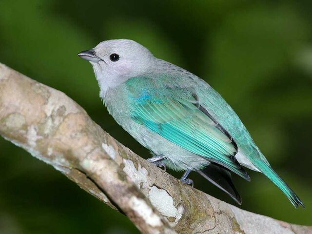 File:Blue Tanager.jpeg