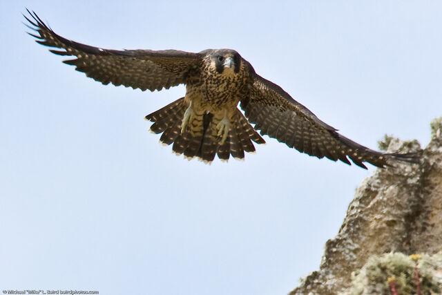 File:Peregrine falcon fledgling-4371.jpg