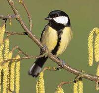 City song birds