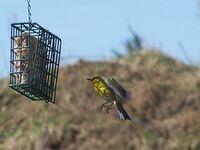 Bluewinged warblerflight
