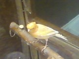 File:Orange Canary.jpg