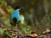 Azure breasted pitta