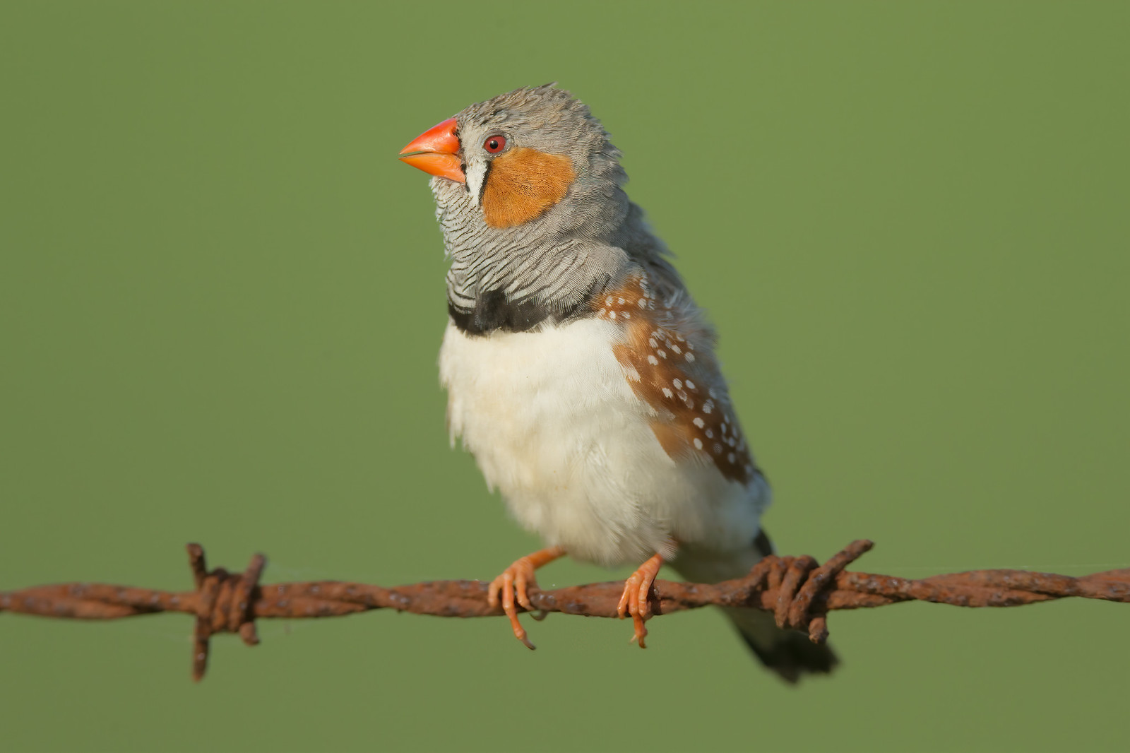 File:Zebra-finch-0008.jpg