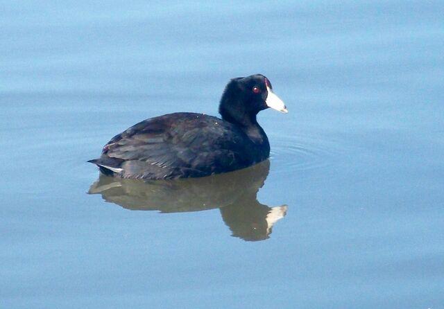 File:Black Duck.JPG