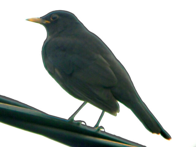 File:Blackbird perchline-1759.jpg