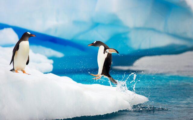 File:Gentoo Penguins Antarctica.jpg