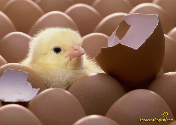 File:Newborn Baby Chick.jpg