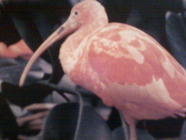 File:Scarlet Ibis.jpg