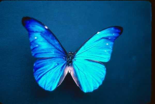File:Butterflya.jpg