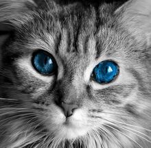 Blue-grey cat with blue eyes