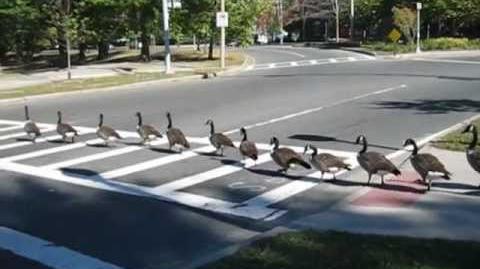 Smart geese crossing street
