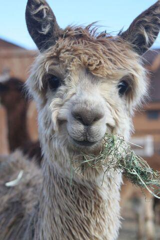 File:Llamass.jpg