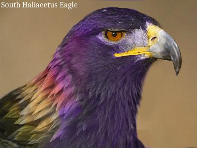File:South Haliaeetus Eagle.png