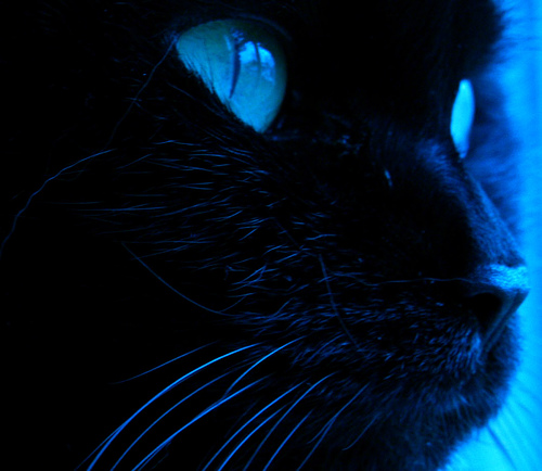 File:Black cat with blue eyes.jpg